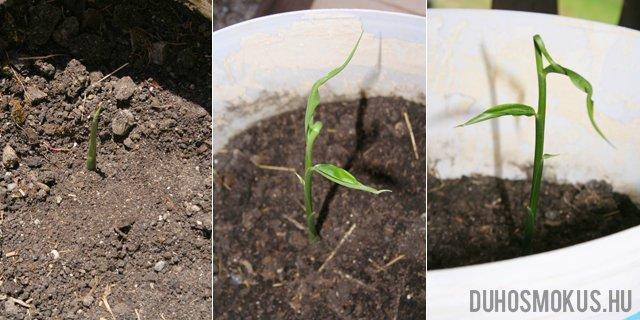 A gyömbér termesztése: így fog kinézni