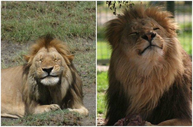 mosolygó oroszlánok