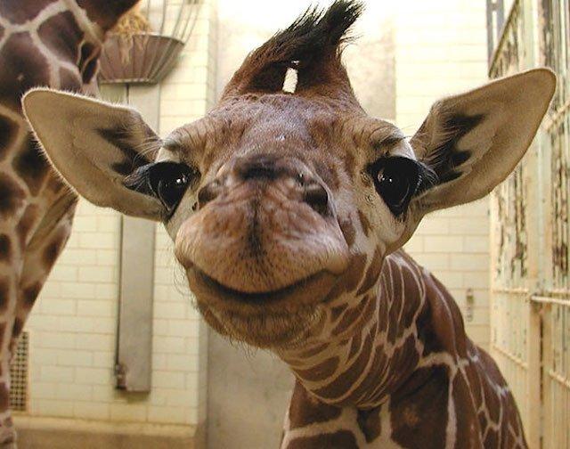 mosolygó zsiráf