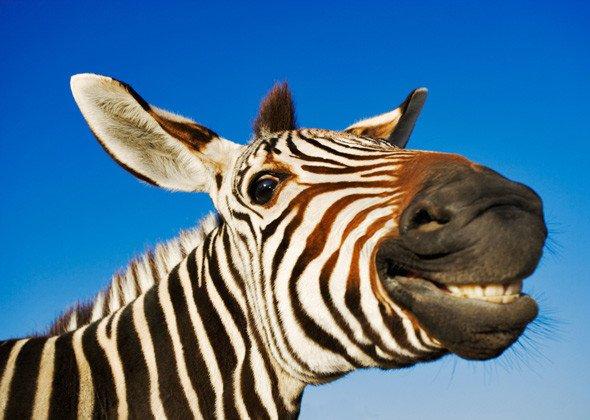vicces zebra