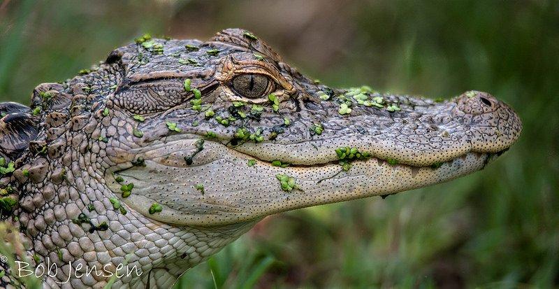 vidám krokodil
