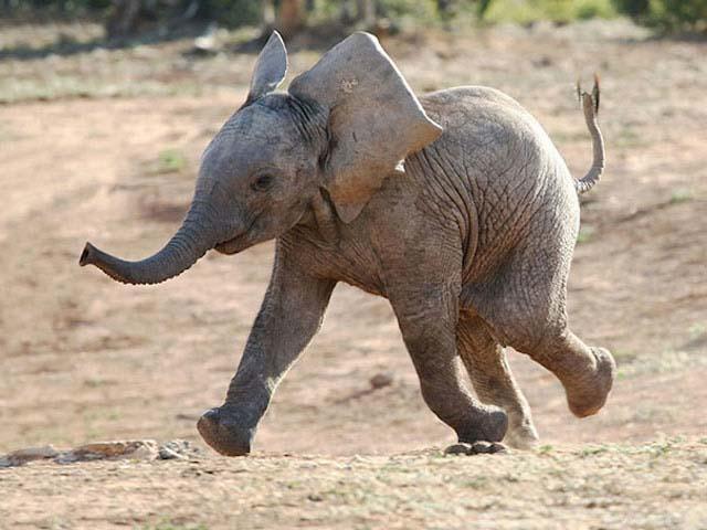 vidám, nevető elefánt