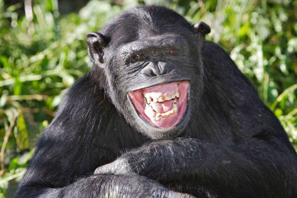 vigyorgó majom